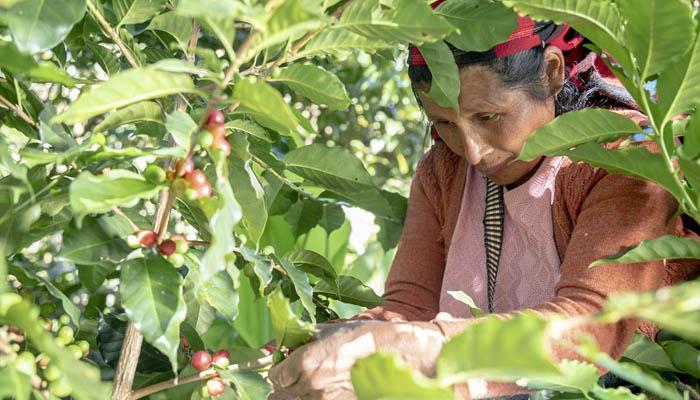 ≫Carrera Técnica de Produccion de Café en el SENA